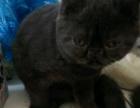 漂亮猫猫找有爱心的家长