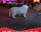 本地出售纯种大白熊幼犬,十年信誉有保障