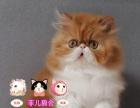 出售纯种健康包子波斯猫活泼可爱生活自理 会吃猫粮哦