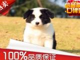 纯种边牧三通七白品相好边境牧羊犬幼犬赛级血统