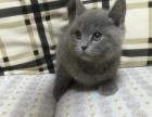 纯种英短蓝猫找新家