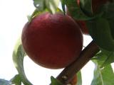 大棚果,优质的桃树苗出售