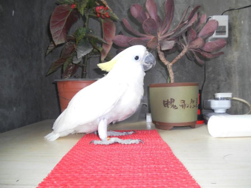转让大葵花鹦鹉幼鸟 会说话 手养的