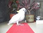 轉讓會說話的葵花鸚鵡 灰鸚鵡 金剛鸚鵡 小黃帽鸚鵡 品種多