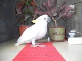 转让会说话的葵花鹦鹉 灰鹦鹉 金刚鹦鹉 小黄帽鹦鹉 品种多