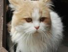 急转让2岁自家繁殖八字大饼面混种加菲猫种猫DD-800元