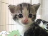 纯种短毛猫渐层 美短 英短 蓝猫出售疫苗全可签