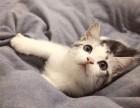 自家出生不久健康的美国短毛猫