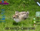 纯种健康的苏格兰牧羊犬多少钱一只在哪能买到