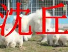 沈丘本地狗场,销售银狐犬,包纯种健康,可送货