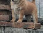 纯种土猎犬养殖基地活泼兴奋 胆大凶猛
