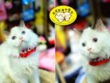 我爱我猫名猫馆 出售世界名猫 签协议 包健康