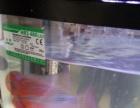 鸿运罗汉鱼很漂亮