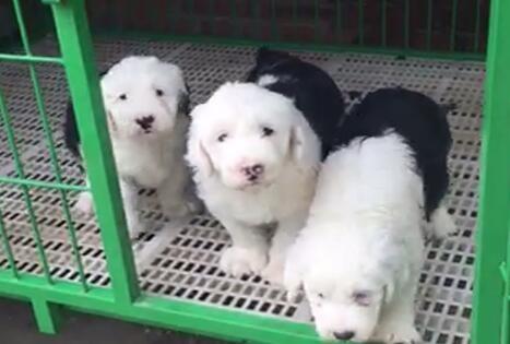 许昌什么地方有狗场卖古牧/哪里有卖古牧犬