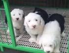 南京什么地方有狗场卖古牧/哪里有卖古牧犬