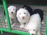 襄樊什么地方有狗场卖古牧/哪里有卖古牧犬