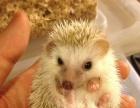 达州本地出售魔王松鼠,迷你刺猬,蜜袋鼯