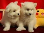 成都狗狗之家長期出售高品質 薩摩耶 售后無憂