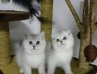 猫舍直销纯种英短蓝猫 短毛猫 无 保健康已打疫