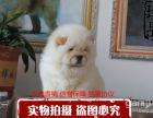 出售纯种聪明可爱松狮犬幼犬,基地有多只挑选