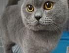 自家大包子脸蓝猫种公对外借配信息长期有效