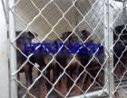 三个月莱州红犬多少钱,安阳哪里出售莱州红,莱州红价格