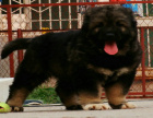 中国专业繁殖双血统高加索犬舍 可以上门挑选