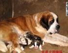 纯种圣伯纳幼犬 血统纯正 健康质保 签订协议