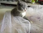 纯种英短蓝猫蓝白宝宝