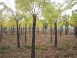 榆林40公分法桐树基地自产自销