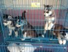 重庆专业出售柯基犬 柴犬 萨摩犬 拉布拉多犬边牧 品种齐全