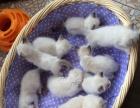 布偶猫家庭繁育包健康欢迎挑选