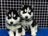 重庆出售 哈士奇幼犬狗狗出售 包纯种 包健康