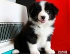 上海哪里有边境牧羊犬卖 上海边境 犬多少钱 边境犬幼犬视频