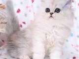 北京崇文猫舍直销纯种金吉拉一手出售