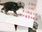 出售自家小猫 美短 有加白的