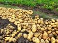 山东土豆今日价格