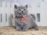 昆明哪里的蓝猫比较便宜健康 昆明什么地方可以买到蓝猫