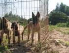 中国专业繁殖双血统马犬犬舍 可以上门挑选