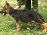 精品德国牧羊犬一证书齐全一血统纯正送用品签协议包活