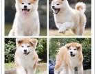 秋田犬价格 秋田犬多少钱 纯种秋田犬多少钱一只