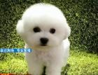 棉花糖般的比熊幼犬 纽扣眼毛量足小体比熊幼犬等你抱