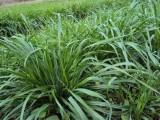 黑麦草什么时候种植较好,全国批发
