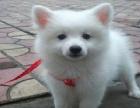 银狐幼犬尖嘴白色狐狸犬幼犬宠物狗狗活体