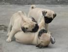 专业狗场繁殖 纯种八哥犬 包建康三年,售后签协议