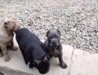 卡斯罗出售3个月幼犬预防已打驱虫已做保养活包健康
