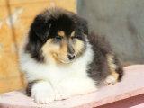 出售苏牧公母幼犬三个月 疫苗齐全 苏牧照片 苏牧价格