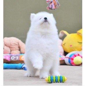 深圳本地低价出售宠物狗泰迪博美比熊萨摩耶松狮巴哥柯基等名犬