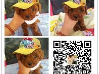 出售纯种泰迪犬 自产自销 签协议 面对面交易