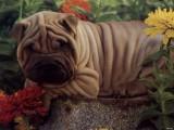 北京哪有沙皮狗卖 北京沙皮狗多少钱 北京沙皮狗图片